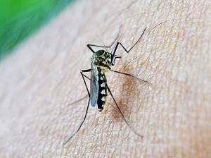 Zanzara malaria